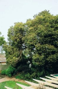 The Big Tree Calary Gardens